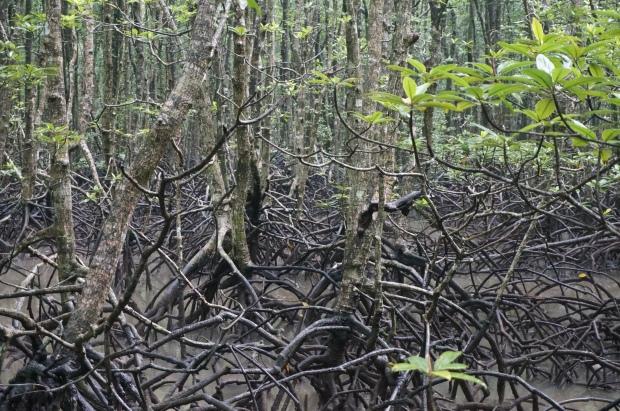 Groteske Wurzeln im Mangrovenwald