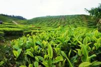 Tee so weit das Auge reicht in den Cameron Highlands
